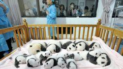 14 bébés pandas présentés dans un zoo chinois