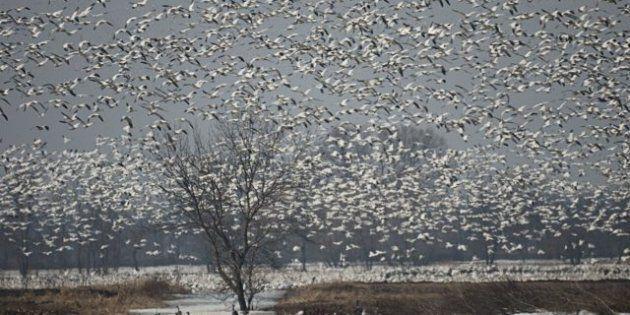 Baie-du-Febvre: des milliers d'oies blanches au