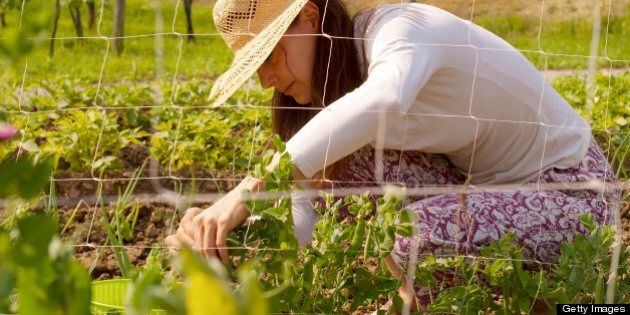 Young woman with straw hat picking peas in the vegetable garden.