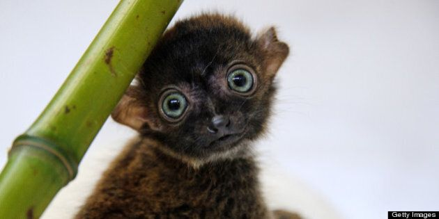 'Dimbi', a blue-eyed black lemur cub (Eulemur flavifrons) is pictured at the zoo of Mulhouse, northeastern...