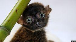 À VOIR! Un bébé lémur aux yeux bleus