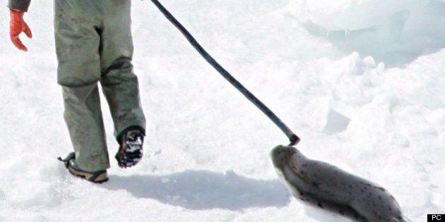La chasse au phoque devrait progresser de 40% cette année au