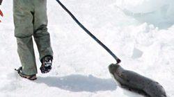 La chasse au phoque devrait progresser de