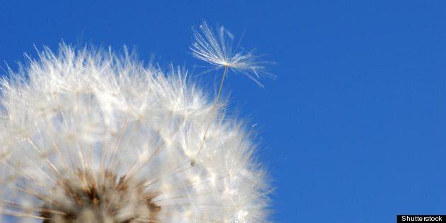 dandelion loosing