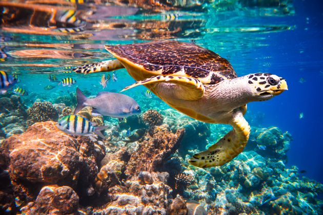 A Hawksbill turtle in the Maldives. This species is considered critically endangered by the International...