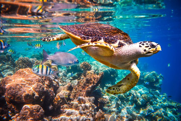 """A Hawksbill turtle in the Maldives. This species is considered critically endangered by the International Union for Conservation of Nature — the last category before """"extinct."""""""