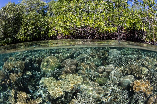 Corals grow right up to the edge of a mangrove forest in Raja Ampat, Indonesia. Mangroves are one of...