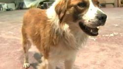 Un chien survit en dépit d'une blessure par balle à la tête; la SQ