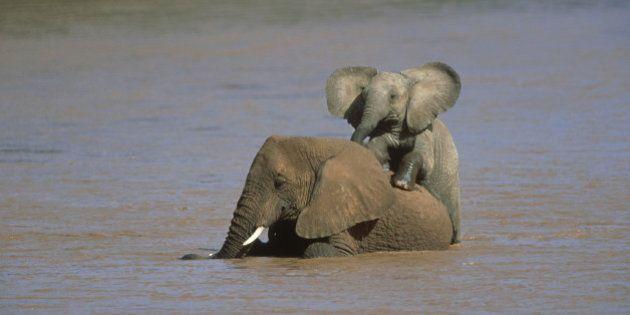 african elephants: loxodonta africana in river ewaso-ngiro samburu nr,