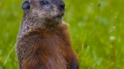 La marmotte Fred a vu son