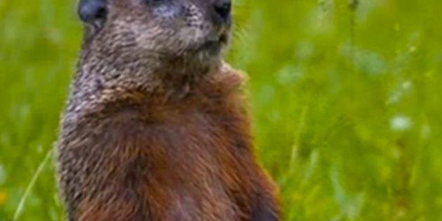 Le printemps sera tardif selon la marmotte québécoise et gaspésienne