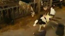 Une vache dressée au saut d'obstacles!
