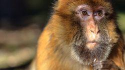 Des singes en colère attaquent un village dans l'est de