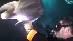Un dauphin blessé demande de l'aide à un plongeur
