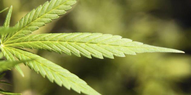 detail of a marijuana plant. a...