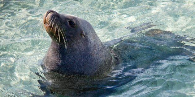 sammy the  sea lion. wild sea...