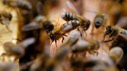 Les abeilles tirent le signal d'alarme au