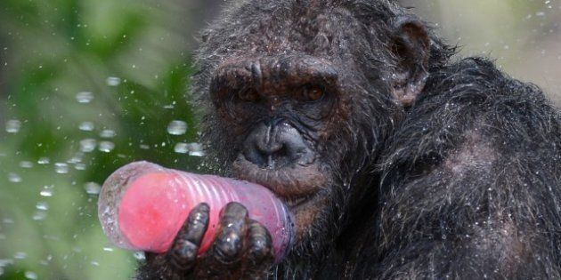 A chimpanzee licks a piece of ice during hot weather at Dusit Zoo in Bangkok on April 2, 2013. The Thai...