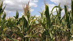 Étude anti-OGM: les conclusions