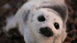 Abattage massif de phoques gris : le bon, le moins bon et le