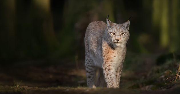Le lynx, un élément de la biodiversité menacé en