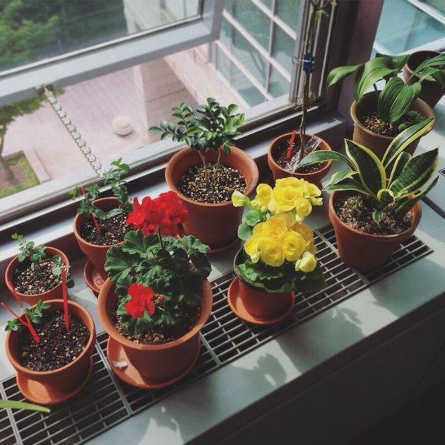 3년 전부터 회사에서 식물을 키우고 있다. 삭막한 사무실에 나타난 초록색 생명체에 고무된 것은 나뿐만이 아니었다. 동료들도 꽃이나 허브를 한두가지씩 창가에 갖다 놓고 돌보기 시작했다....