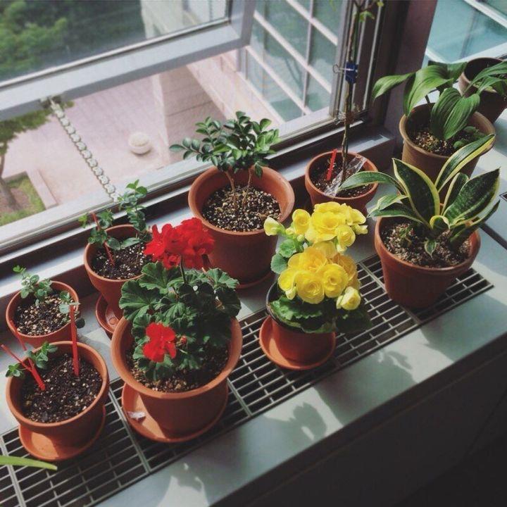 3년 전부터 회사에서 식물을 키우고 있다. 삭막한 사무실에 나타난 초록색 생명체에 고무된 것은 나뿐만이 아니었다. 동료들도 꽃이나 허브를 한두가지씩 창가에 갖다 놓고 돌보기 시작했다. 불쑥 나타난 식물 떼는 좋은 한담거리였다.