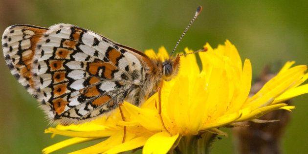 Changement climatique: un papillon exotique fait son apparition au