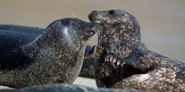 Le sort de 140 000 phoques gris décidé