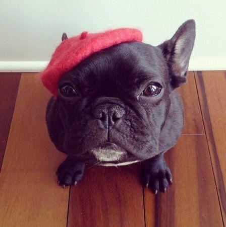 Trotter, le bouledogue tendance qui fait fureur sur Instagram