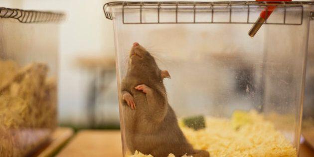Étude: les rats nourris pendant deux ans avec un maïs OGM meurent plus jeunes et souffrent plus souvent...
