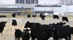 E. coli : cinq nouveaux cas liés à XL Foods en Alberta et au