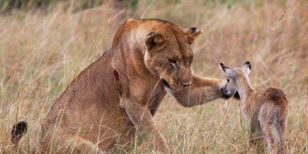 Une lionne se prend d'amitié pour une petite antilope