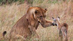 Une lionne adopte une petite antilope après avoir tué sa