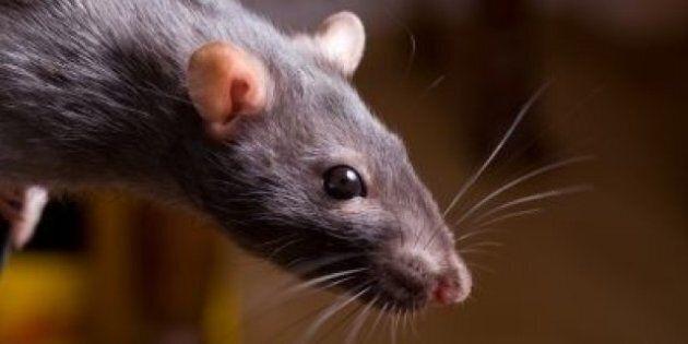 Cuisine et gastronomie: du rat à 100$ dans un dîner d'un restaurant new-yorkais