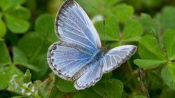 Des papillons mutants à