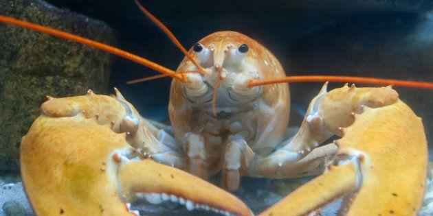 Crise du homard: les usines de transformation reprennent leurs activités au