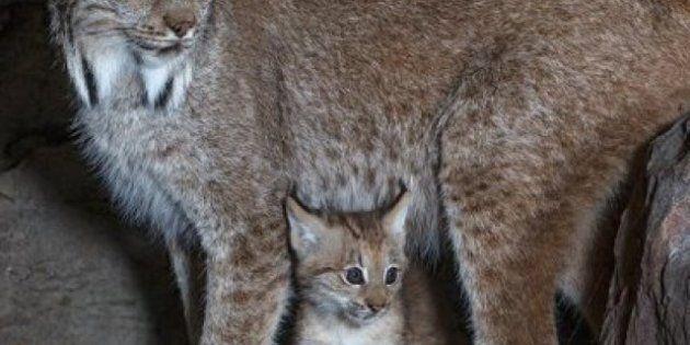 Un chaton lynx né en captivité a fait son entrée au Biodôme de