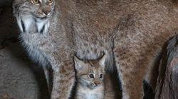 Un chaton lynx en captivité au