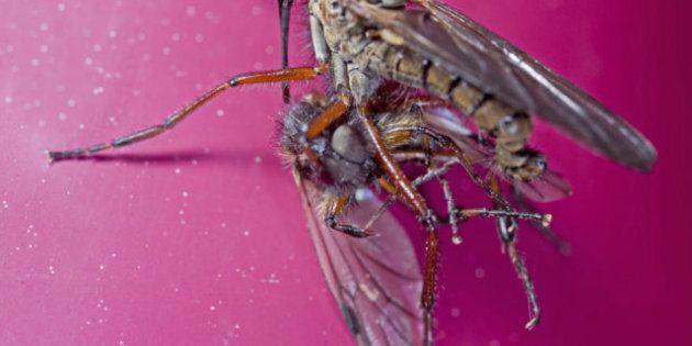 Sexe animal: chez les mouches, le mâle se noie dans l'alcool par frustration