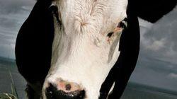 Un cas de vache folle détecté en