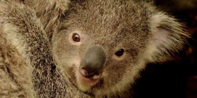 Le koala, espèce en danger en Australie (VIDÉO