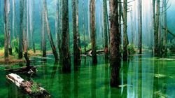 Amazonie: des milliers d'espèces d'arbres sont