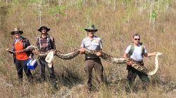 Un python de plus de 5 mètres capturé en