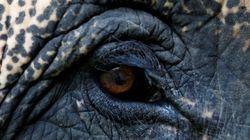 Un des derniers éléphants aux «défenses géantes» tué au