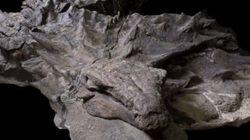 «Momie de dinosaure» trouvée quasi intacte avec sa peau et son repas digéré au