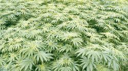 Les producteurs de cannabis ne veulent pas des emballages