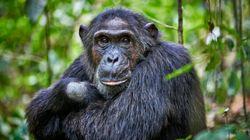 Ce meurtre d'un mâle alpha chez des chimpanzés n'est pas