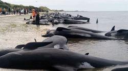 Plus de 400 baleines s'échouent en