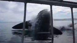 Ces plongeurs ont une peur bleue face à un énorme requin blanc